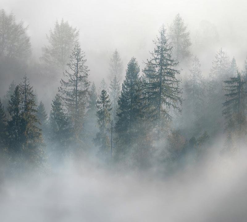 Фотообои Ели в тумане