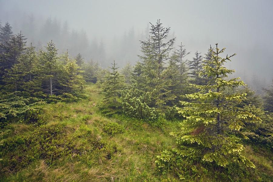 Фотообои Еловый лес
